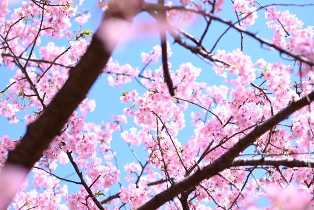お花見を楽しみましょう